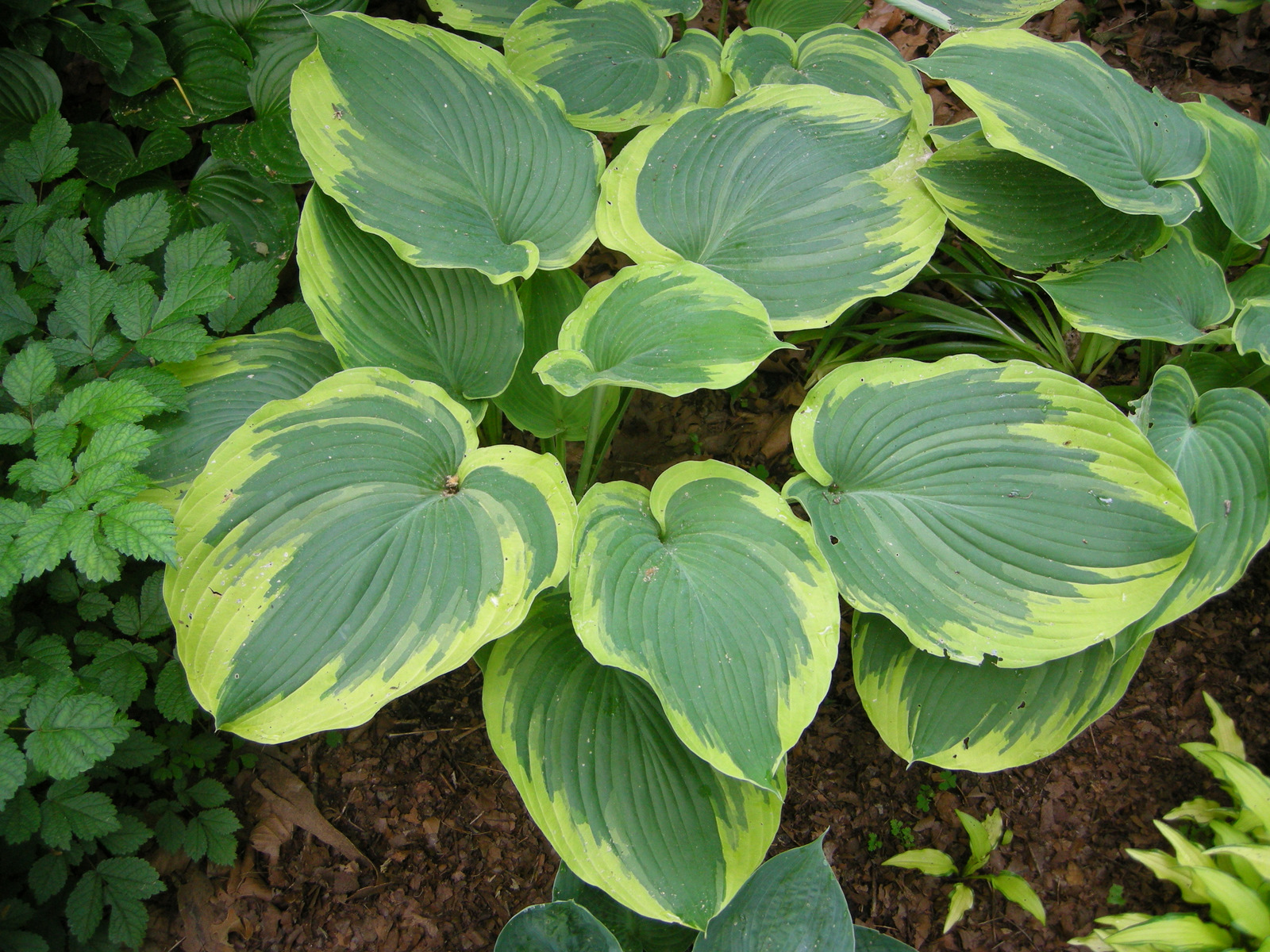larger hostas carolyn 39 s shade gardens. Black Bedroom Furniture Sets. Home Design Ideas