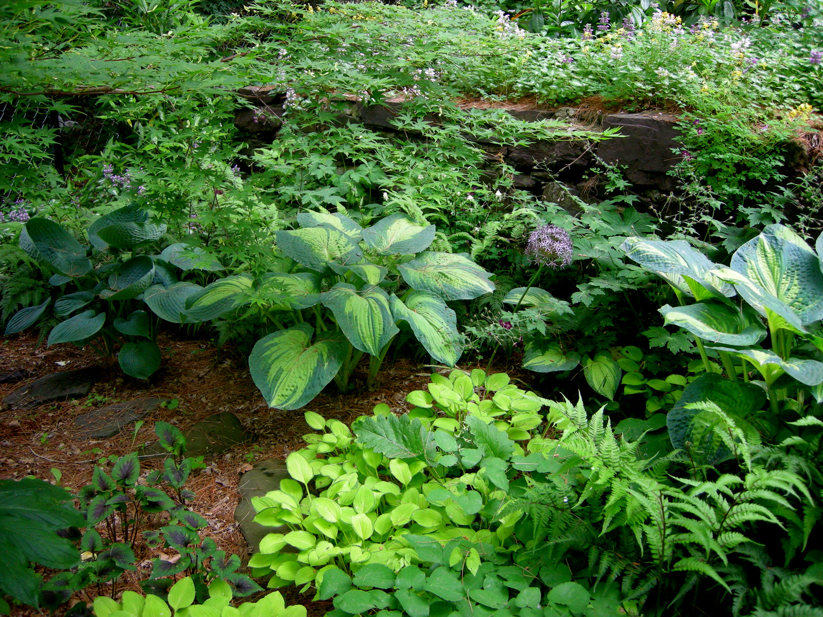 Shade Garden Ideas Hostas Photograph with other hostas