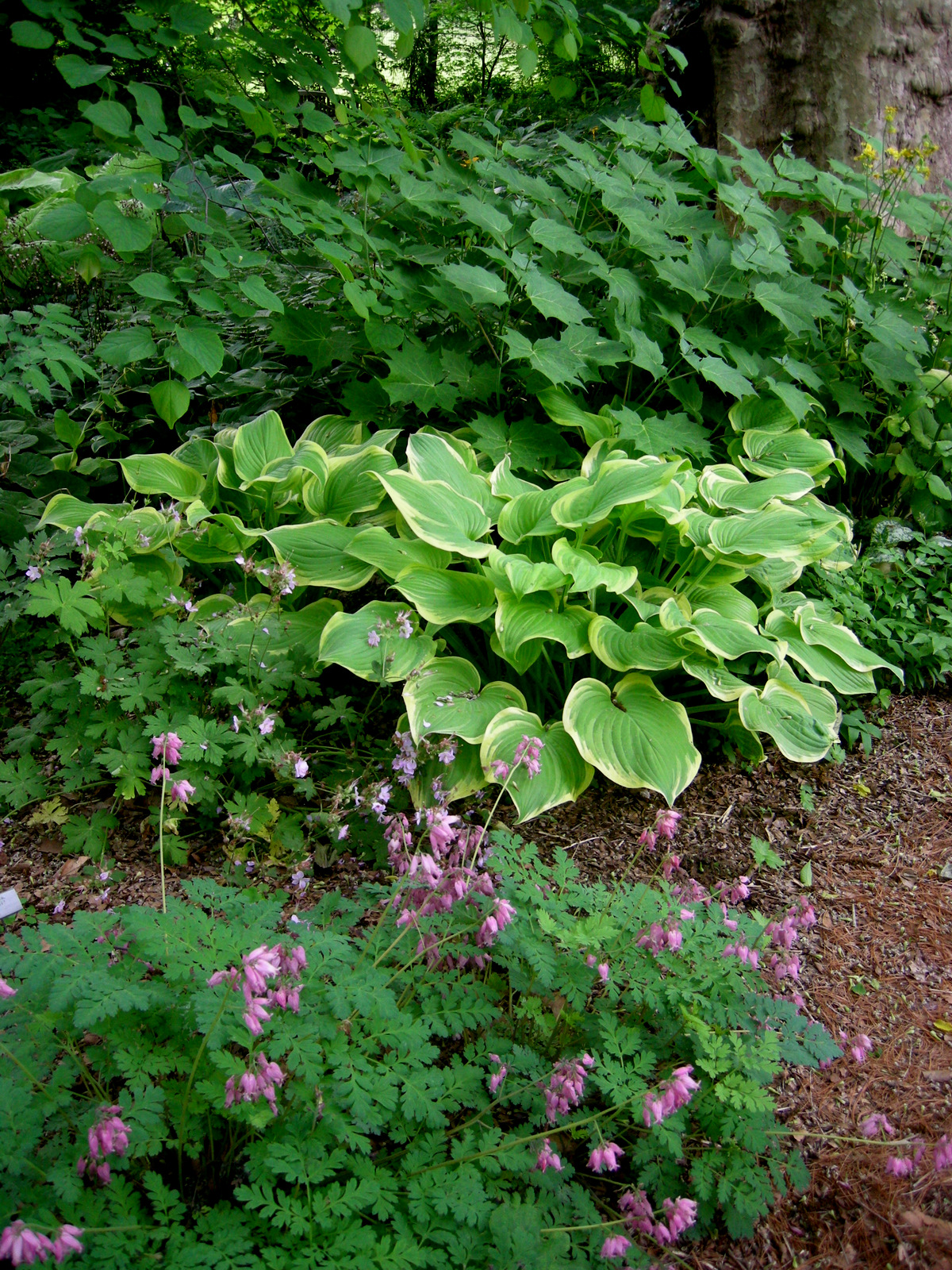 hosta 'fragrant queen'  carolyn's shade gardens, Natural flower