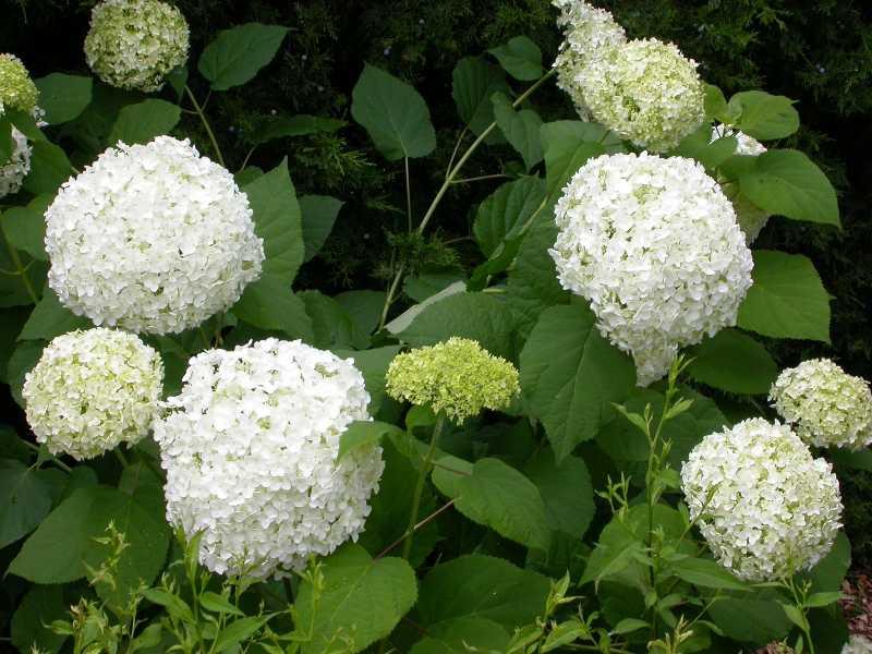 deutzia gracilis nikko carolyn 39 s shade gardens. Black Bedroom Furniture Sets. Home Design Ideas