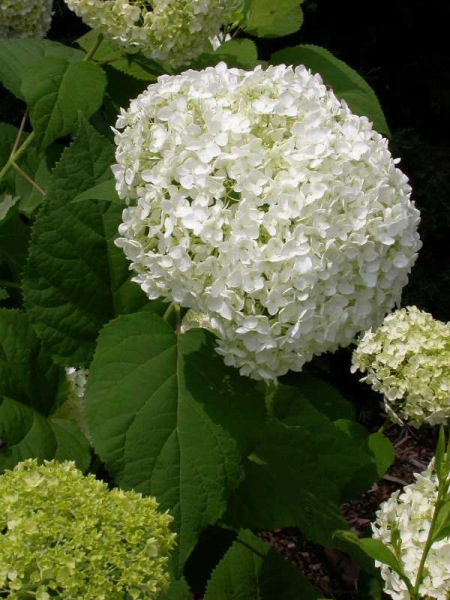 Hydrangea arborescens 'Annabelle' photo MOBOT