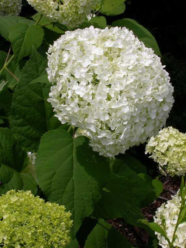 pee wee dwarf oakleaf hydrangea carolyn 39 s shade gardens. Black Bedroom Furniture Sets. Home Design Ideas