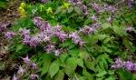 Epimedium grandiflorum 'Lilafee' at Carolyn's ShadeGardens