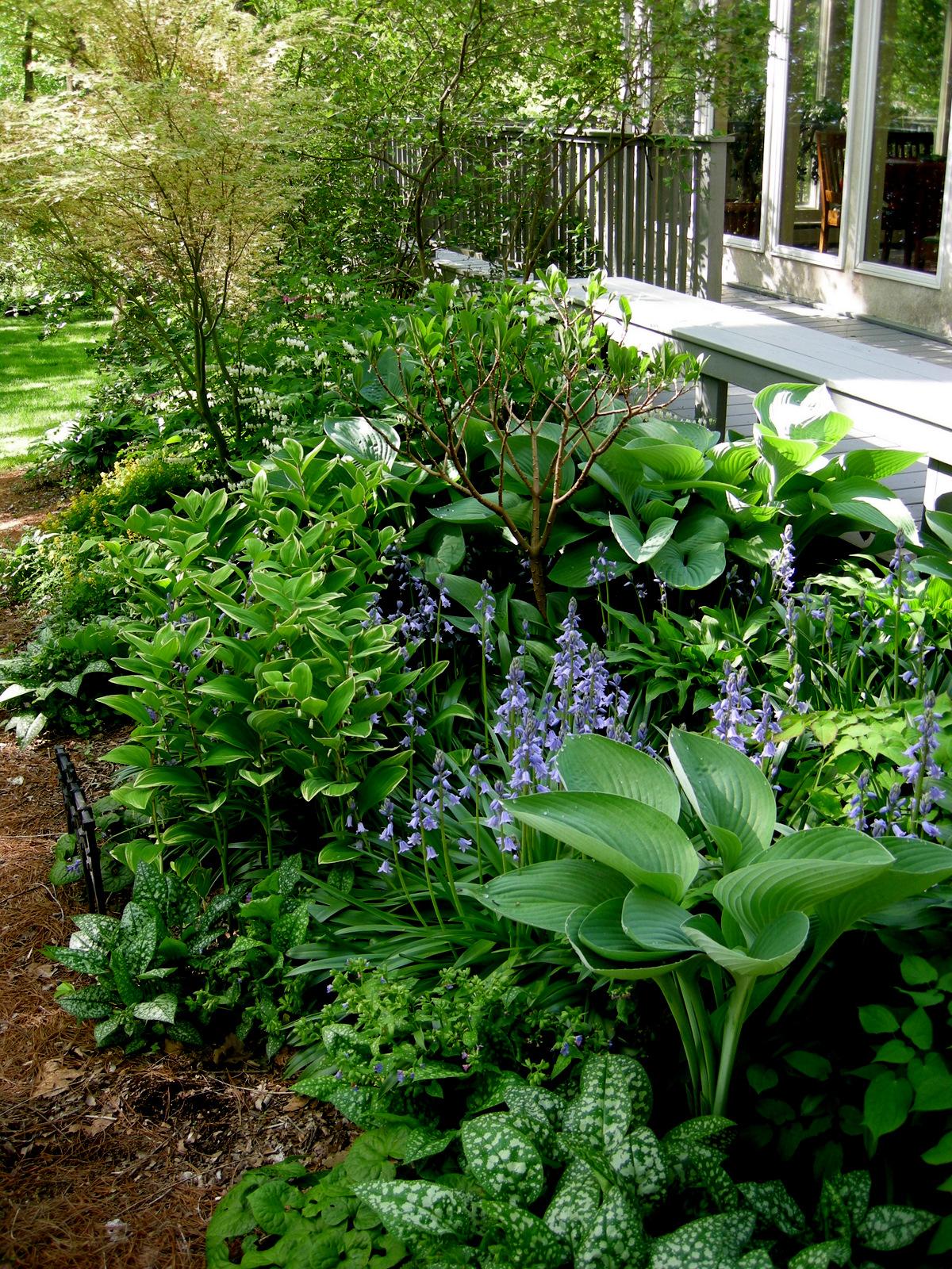 deinanthe caerulea carolyn 39 s shade gardens
