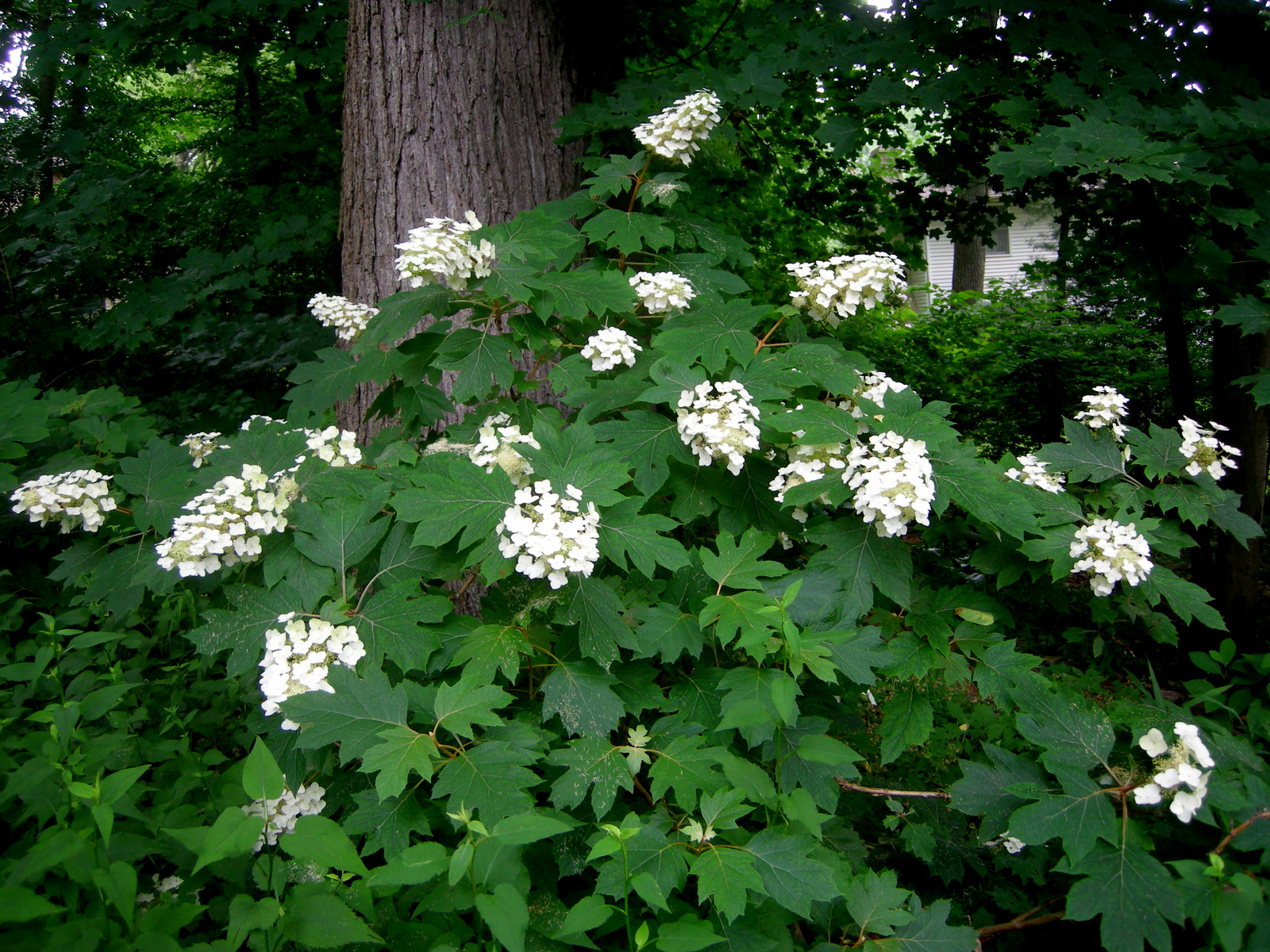 Gar carolyn 39 s shade gardens for Hydrangea quercifolia
