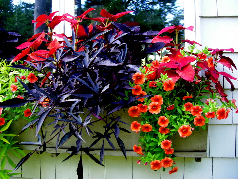 colorful annuals for shade  carolyn's shade gardens, Natural flower