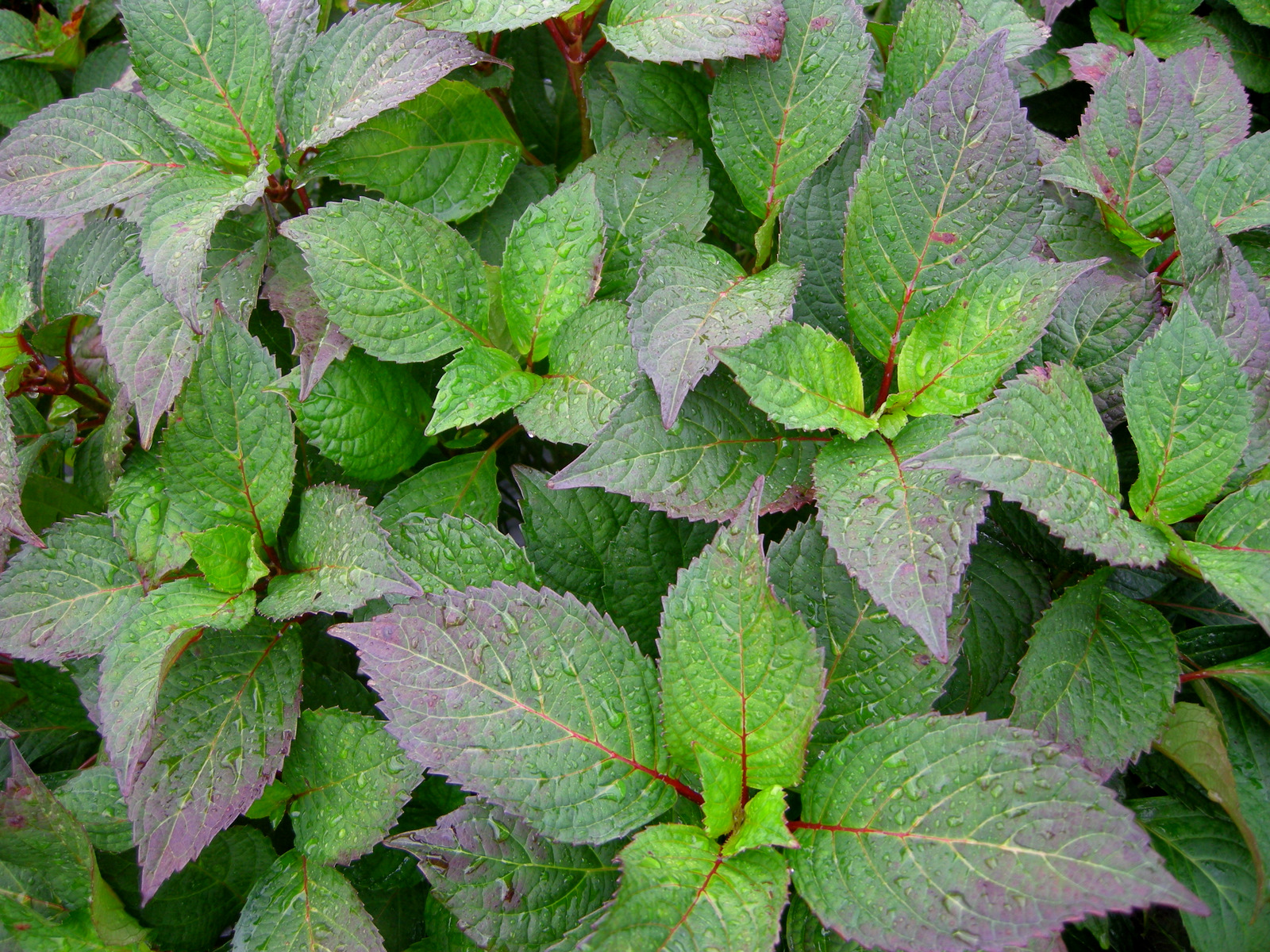The leaves of preziosa sawtooth hydrangea have already started