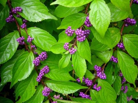 shade vines  carolyn's shade gardens, Natural flower
