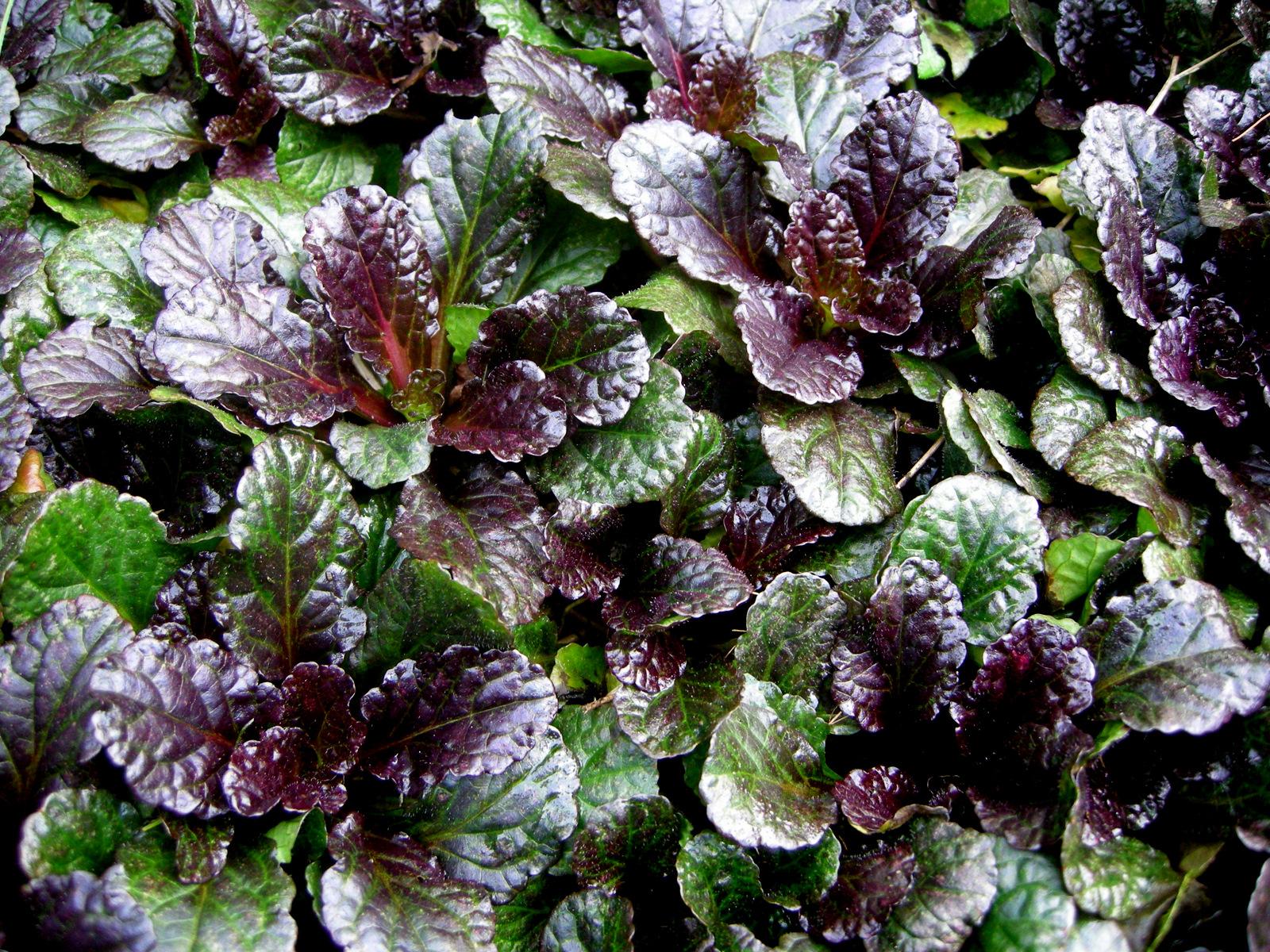 Diana Rose Black Scallop Ajuga Carolyn S Shade Gardens