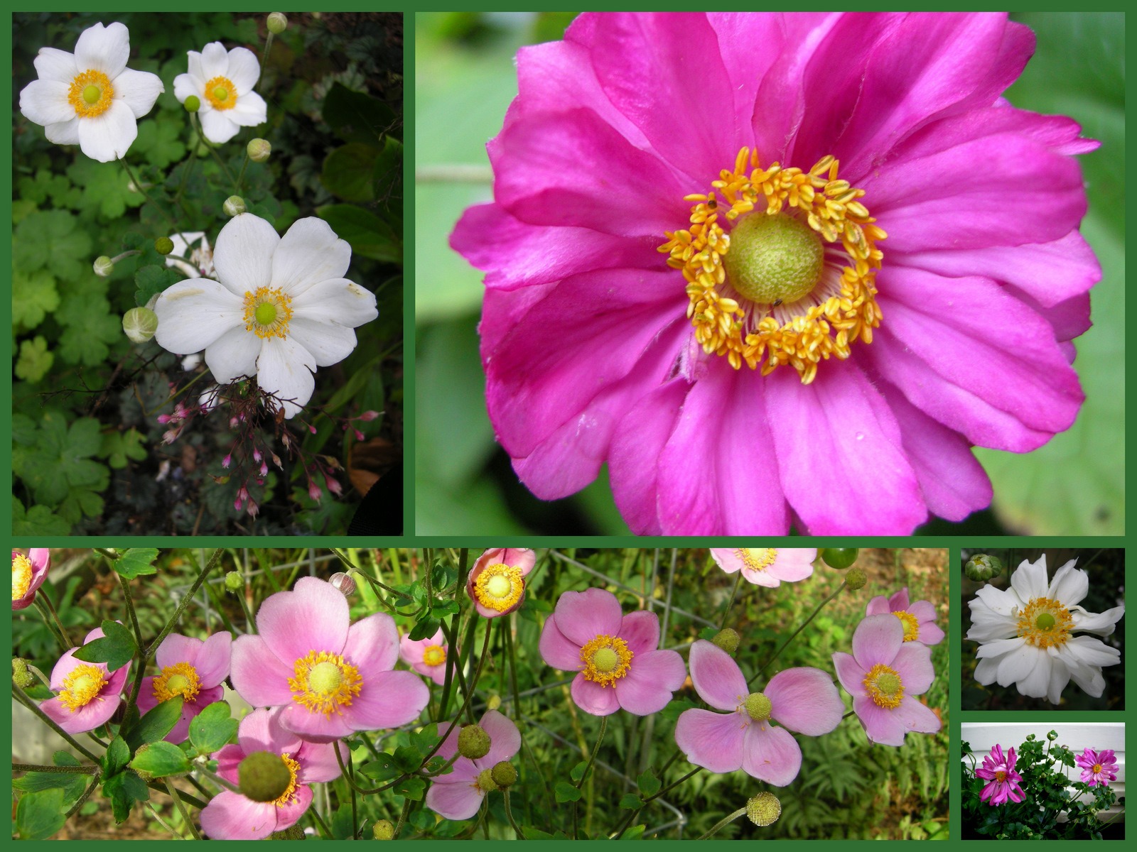 October gbbd a few fall favorites for flowers carolyns shade gardens japanese anemones izmirmasajfo