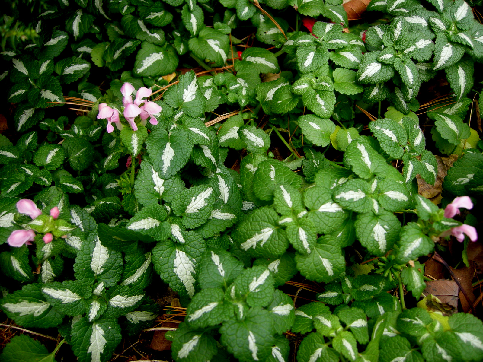 more flowering wintergreen ground covers for shade  carolyn's, Beautiful flower