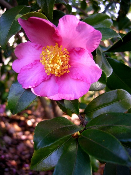 Camellia x 'Winter's Star'