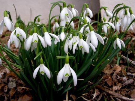 Galanthus nivalis/Common Snowdrop