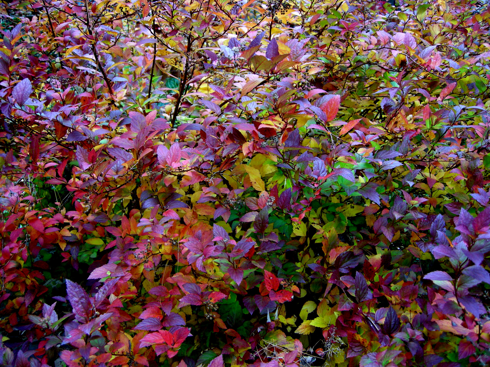 Magic Carpet Spirea Fall Color Carpet Vidalondon