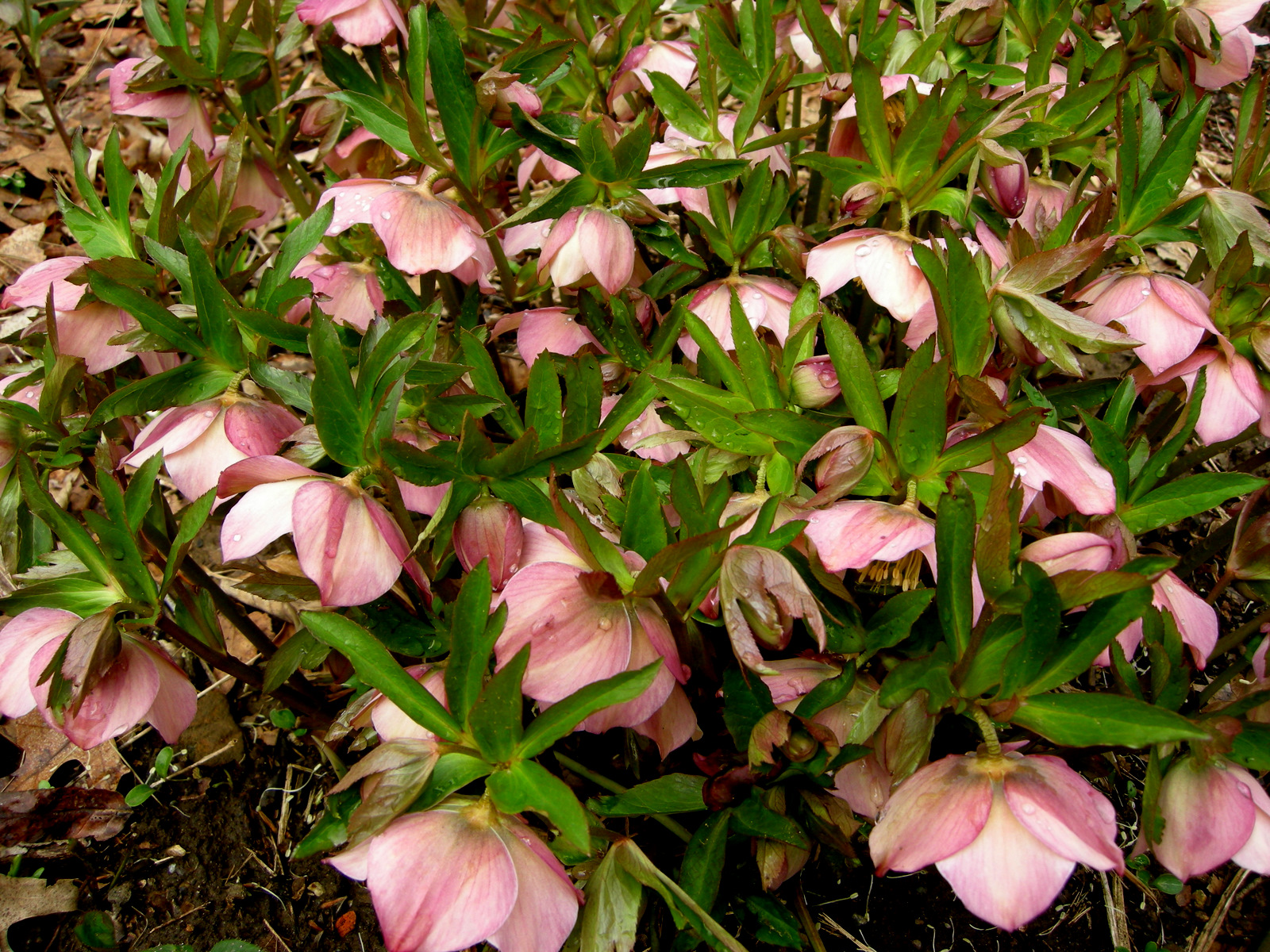 helleborus x ericsmithii silvermoon carolyn 39 s shade gardens. Black Bedroom Furniture Sets. Home Design Ideas