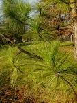 Pinus palustris, longleafpine