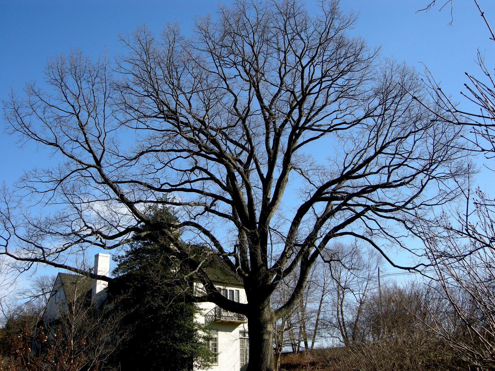 Displaying 19> Images For - Big Tree Without Leaves...