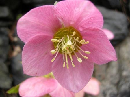 Helleborus x 'Pink Tea Cup'