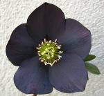 Helleborus x 'Black'