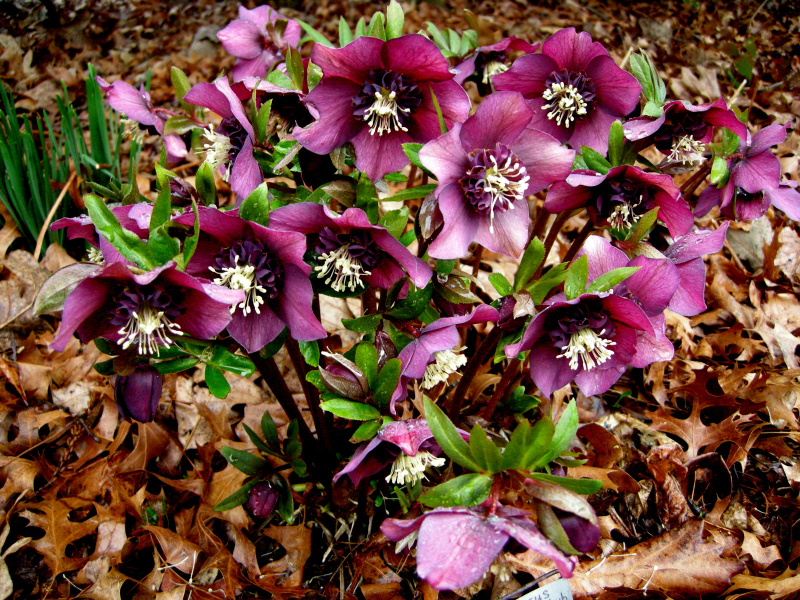 anemone flowered hellebore carolyn 39 s shade gardens. Black Bedroom Furniture Sets. Home Design Ideas