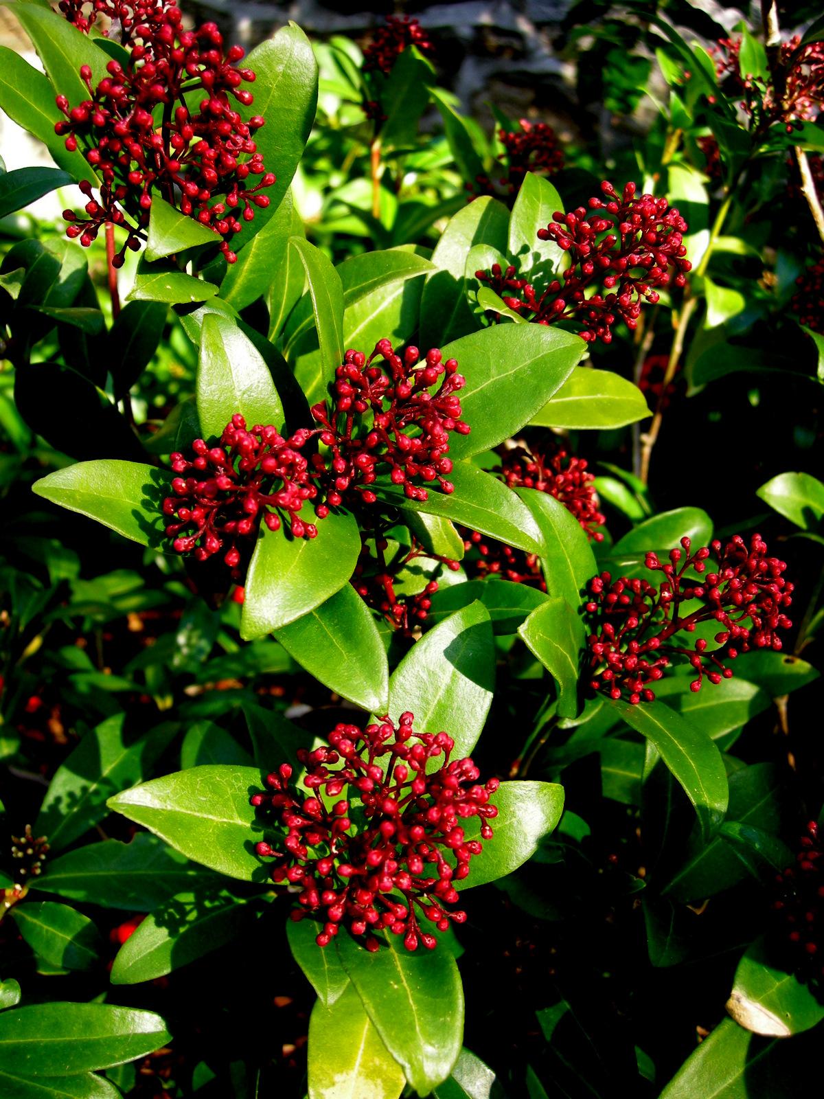 Daphne odora skimmia japonica carolyn 39 s shade gardens for Japanese outdoor plants