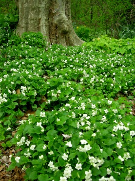 Image result for White violets flowers pics.