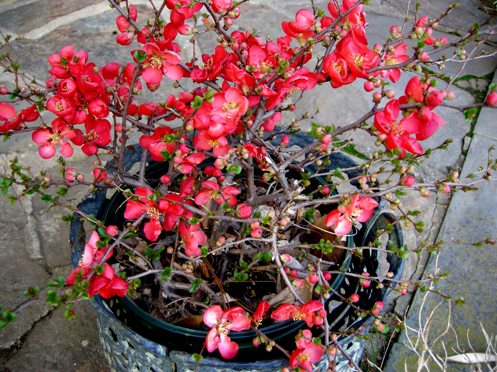 the japanese quince Cold‐pressed japanese quince (chaenomeles japonica  the japanese quince seed oil had the highest amounts of tocopherols, b‐carotene,.