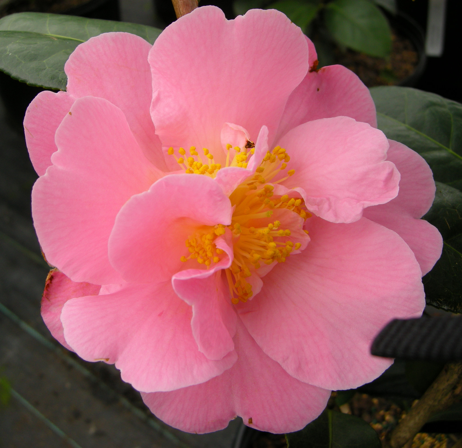 Camellia pink icicle carolyns shade gardens spring blooming camellia pink mightylinksfo