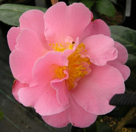 Camellia x 'Pink Icicle'