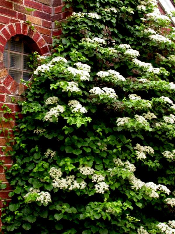 Woody plants for shade part 4 carolyn 39 s shade gardens - Hydrangea petiolaris ...
