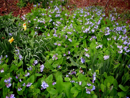 Native white violets carolyn 39 s shade gardens - Vegetable garden what to plant in april ...