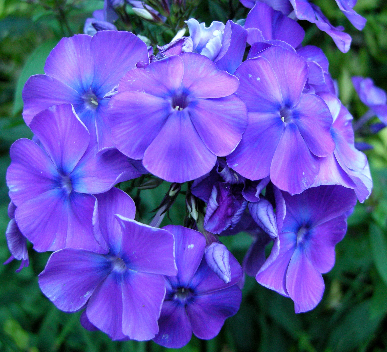 Creeping phlox carolyns shade gardens blue izmirmasajfo Images