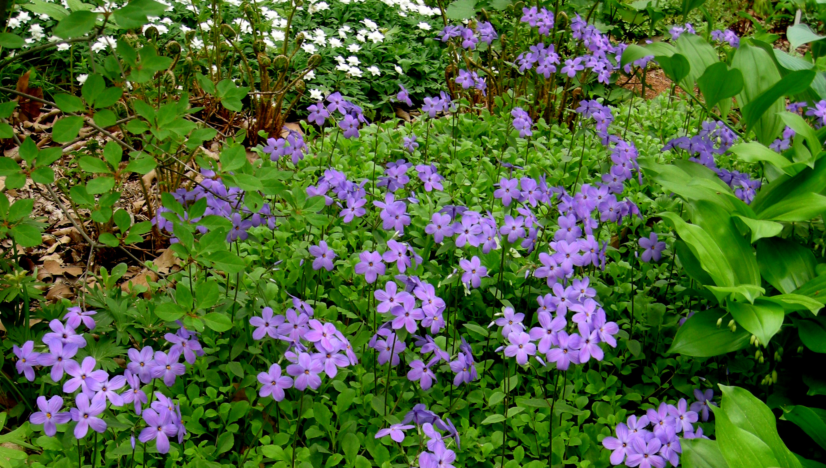 Phlox stolonifera carolyn 39 s shade gardens for Garden shrubs