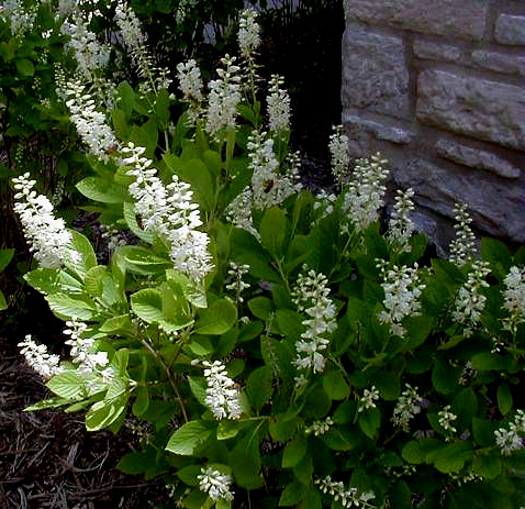 native shrubs for shade  carolyn's shade gardens, Natural flower