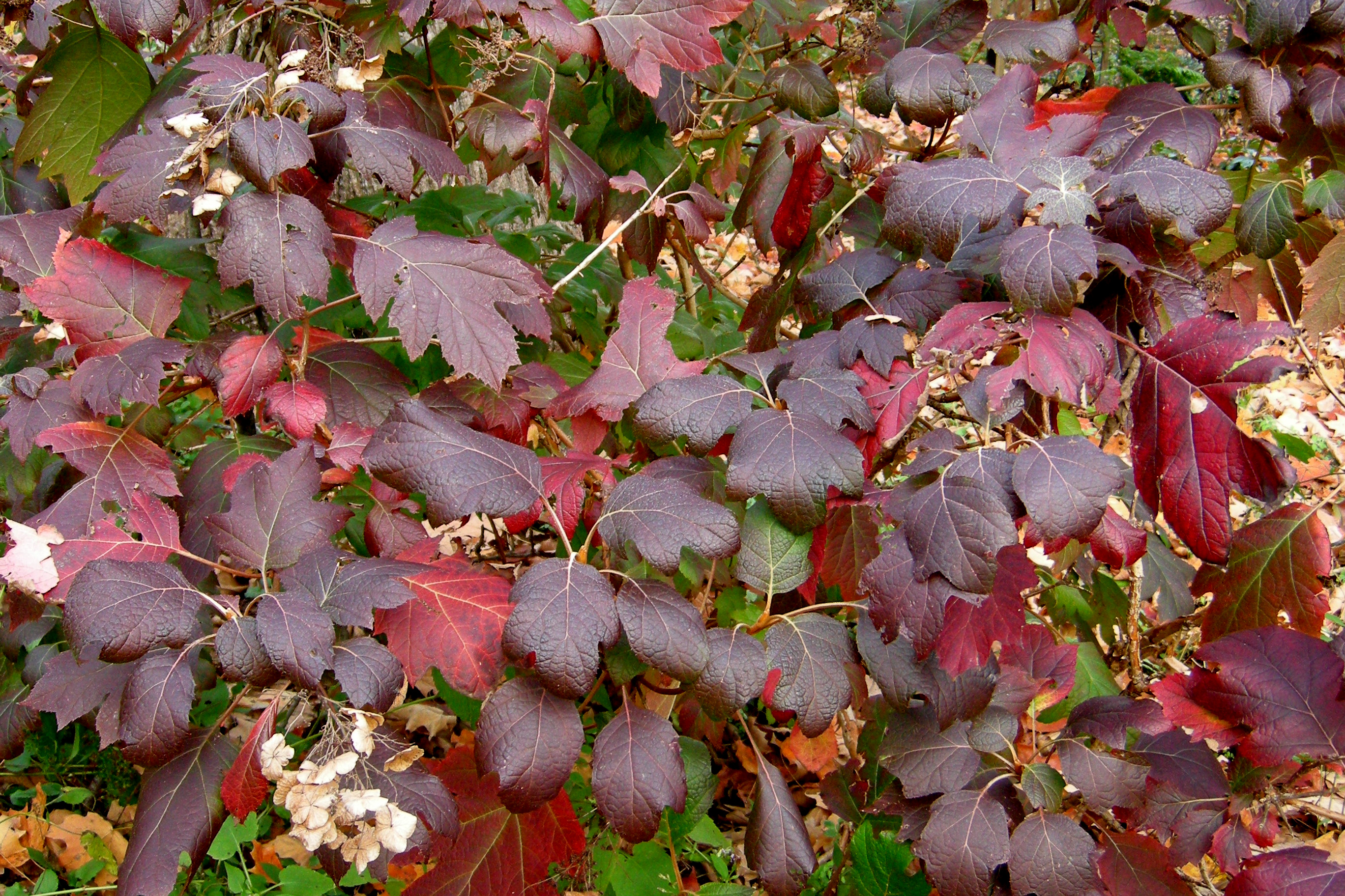 The fall color of oakleaf hydrangea Oakleaf Hydrangea Alice