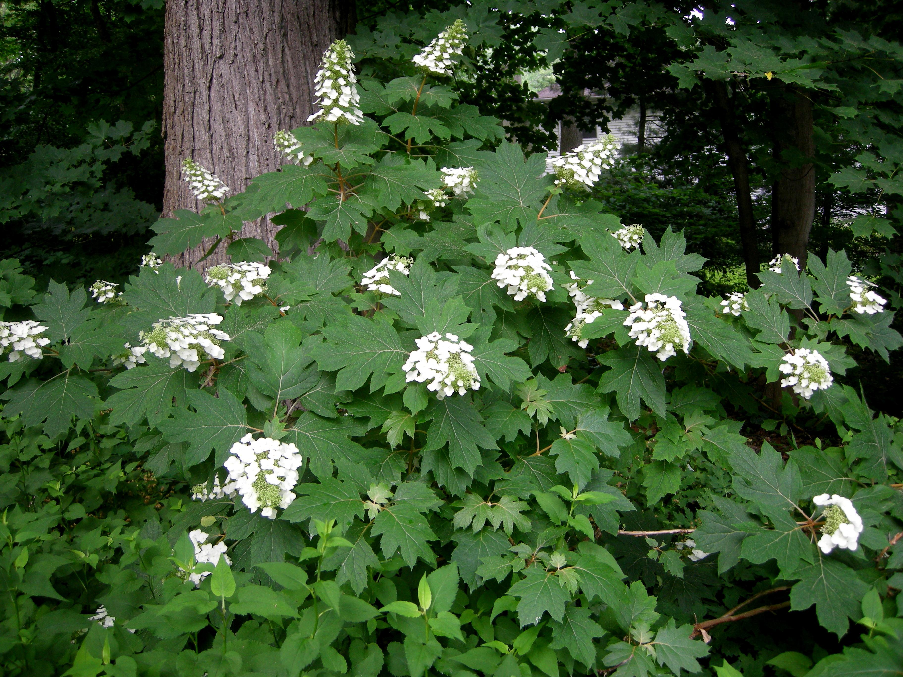 alice oakleaf hydrangea carolyn 39 s shade gardens