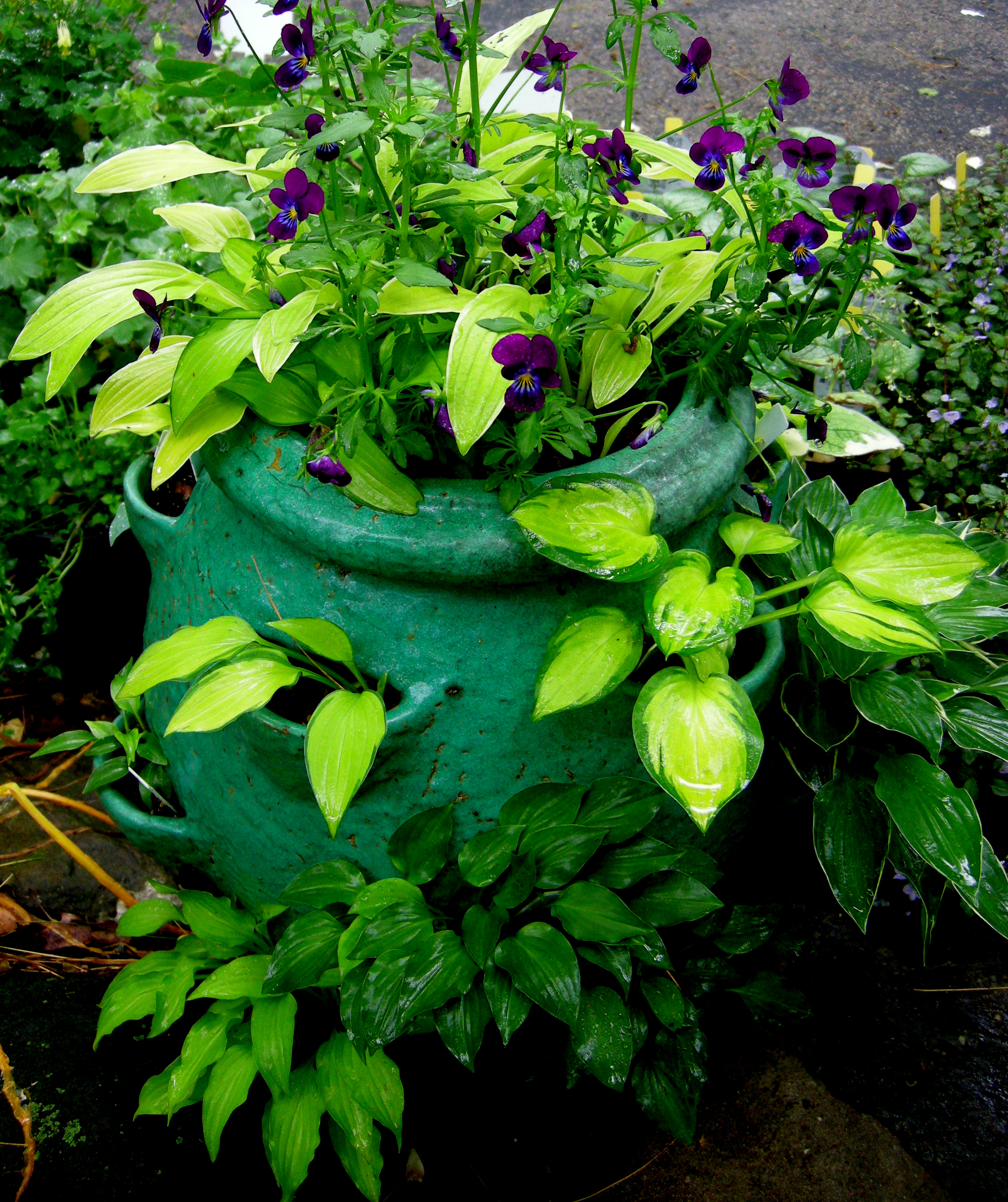 Hosta Containers and Companions CAROLYNS SHADE GARDENS