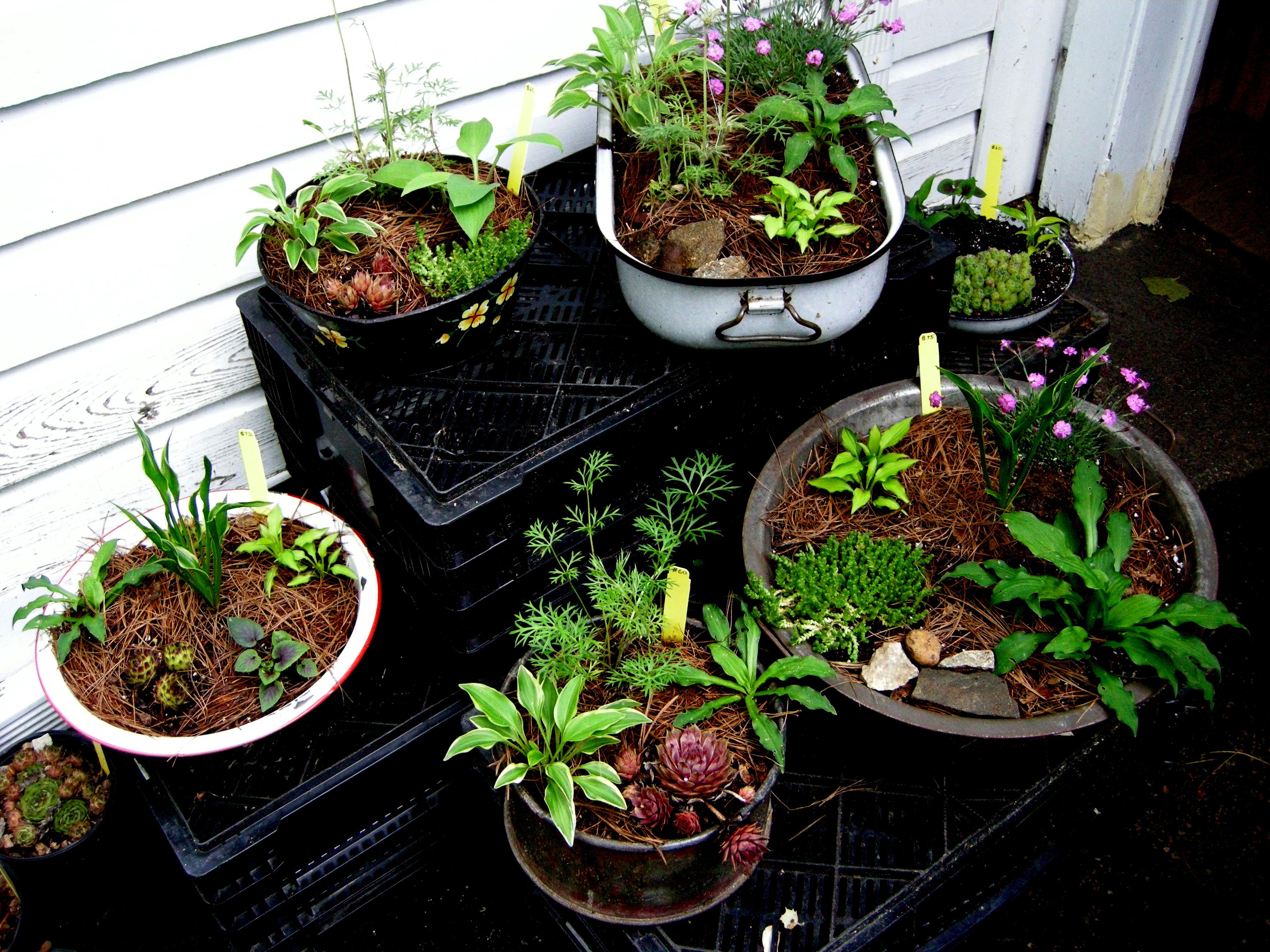 Hosta Containers And Companions Carolyns Shade Gardens