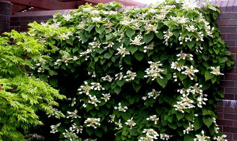 native shrubs for shade  carolyn's shade gardens, Natural flower
