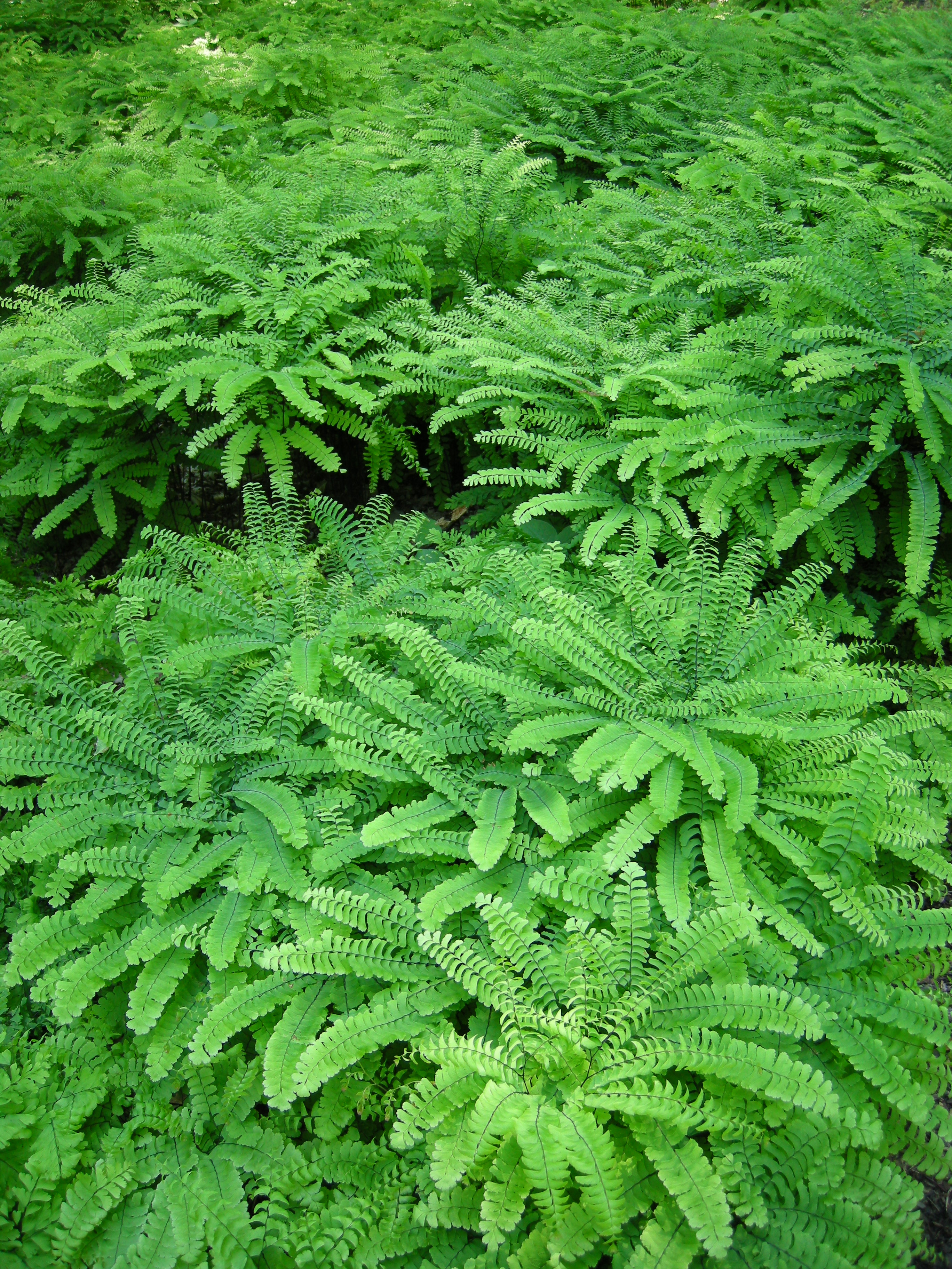 F >> Groundcovers, Thinking Outside the Box | CAROLYN'S SHADE GARDENS