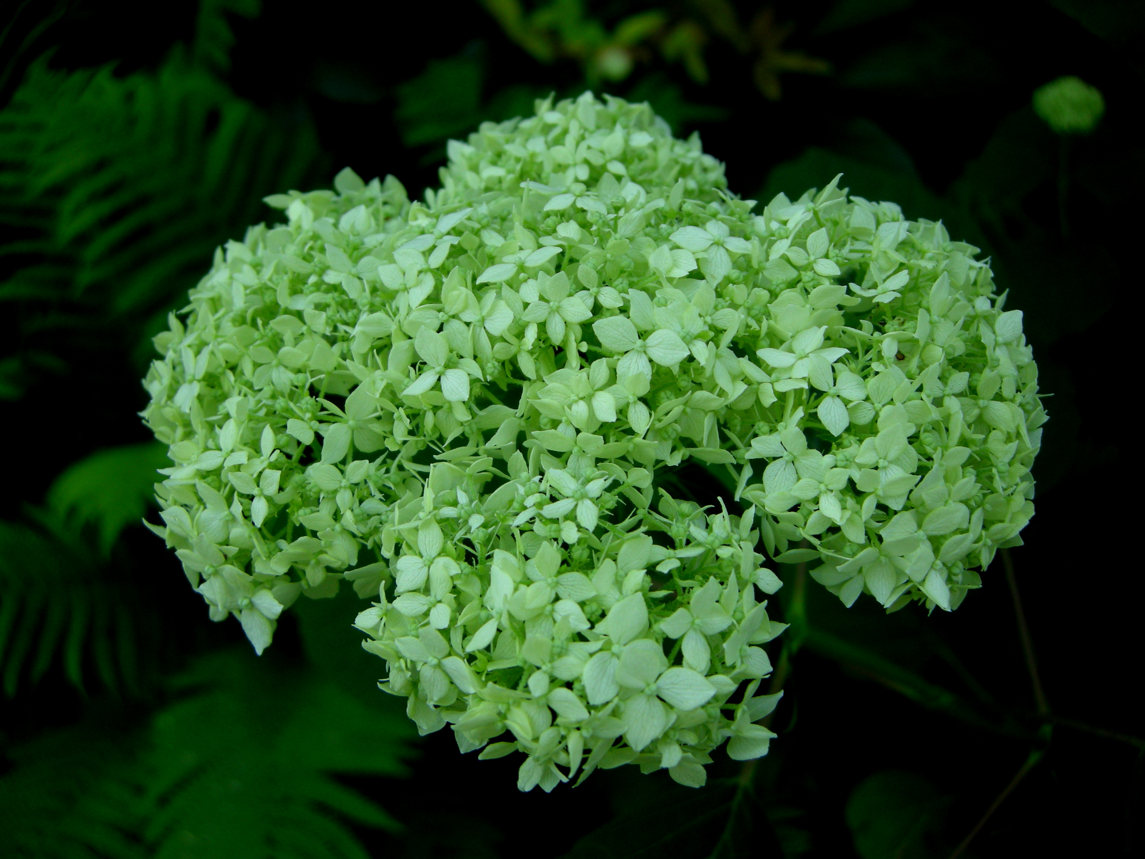 Hay scented fern carolyns shade gardens smooth hydrangea has a lovely flower dhlflorist Image collections