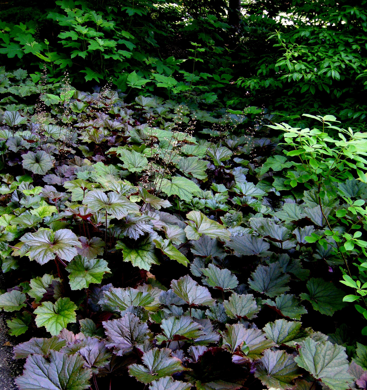 Hay Scented Fern Carolyn 39 S Shade Gardens