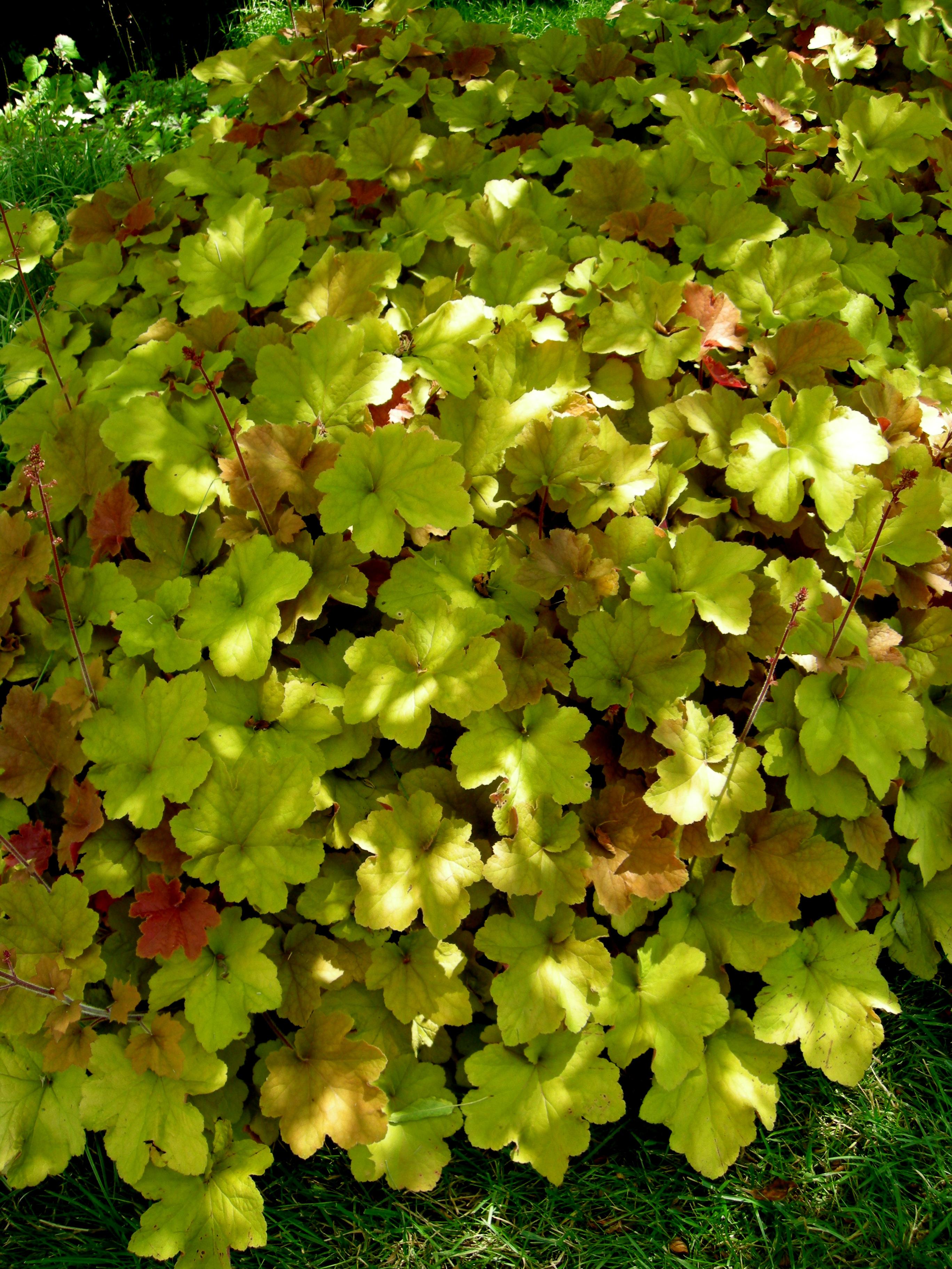 Hydrangea Quercifolia Carolyns Shade Gardens