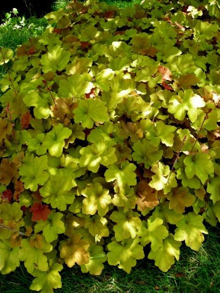 Heuchera villosa 'Autumn Bride' | CAROLYN'S SHADE GARDENS