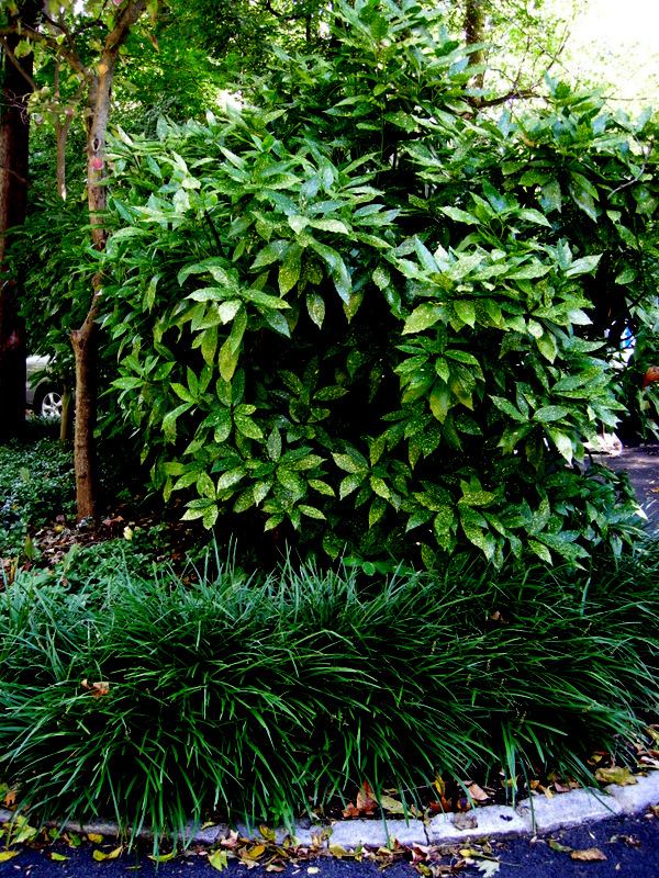 ... Japanese aucuba, A. japonica , is an elegant specimen for deep shade