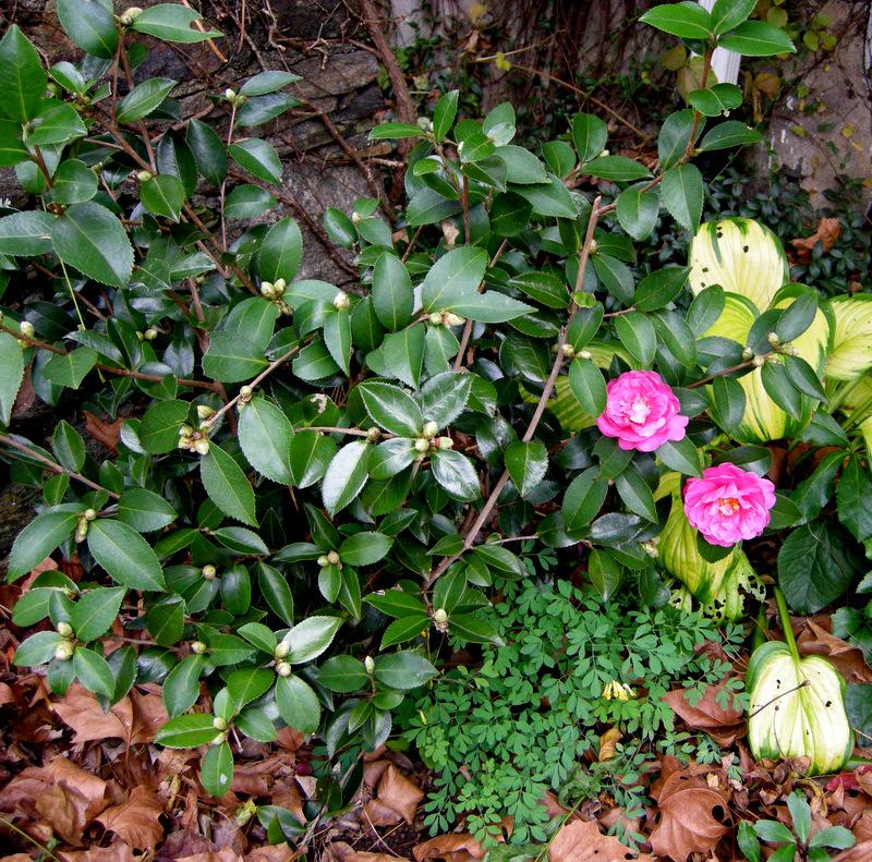 Fall Blooming Cyclamen Carolyn 39 S Shade Gardens