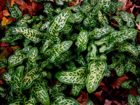 Arum italicum 'Tiny Tot'