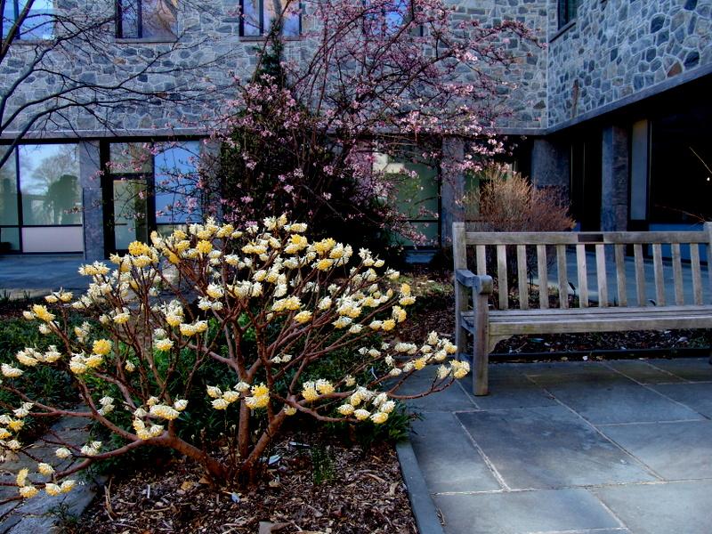 A Shrub for All Seasons: Edgeworthia | CAROLYN'S SHADE GARDENS on