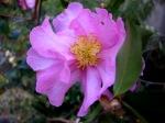 Camellia x 'Long IslandPink'