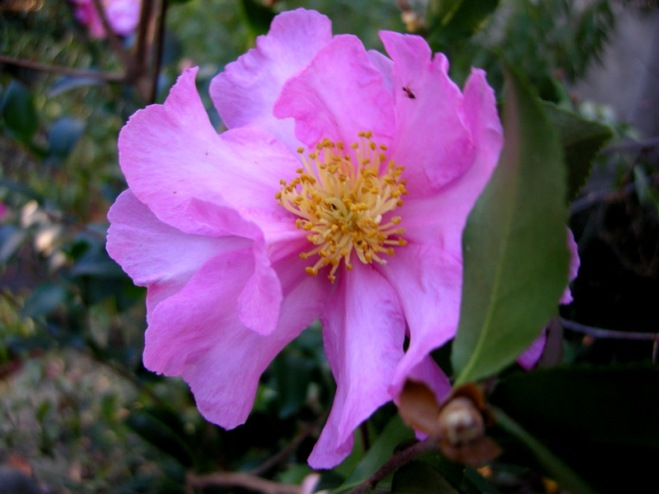 Camellia x 'Long Island Pink'